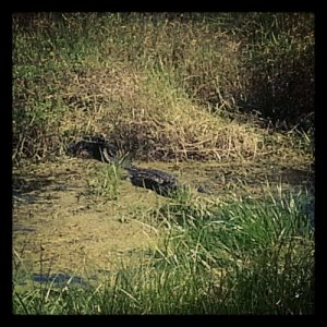 A magnificent monster (alligator).
